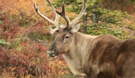 What's certain about (caribou) death and taxes?