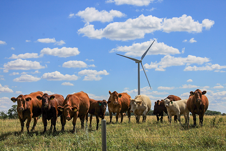 A group of cows stand in a rural field in Alberta in front of a wind turbine